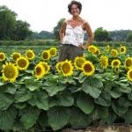 (Whole 1 Oz) ทานตะวันเตี้ย ซันสปอท - Sunspot Dwarf Sunflower