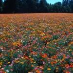 ดอกไม้ป่า ป็อปปี้ ฟีลด์ 100 เมล็ด/ชุด