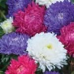 ดอกแอสเตอร์ มิเลดี้ มิกซ์ 10 เมล็ด/ชุด