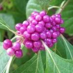 บิ้วตี้เบอรี่ - American Beautyberry