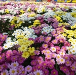 ดอกเบญจมาศ คละสี ซองละ 30 เมล็ด