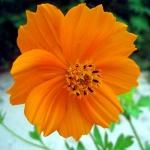 ดาวกระจายสีส้ม - Orange Cosmos Flower