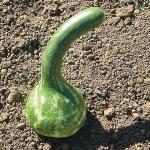 (Whole 1 Oz) น้ำเต้าดิปเปอร์ - Dipper Gourds
