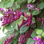ถั่วแปบสีม่วง - Hyacinth bean
