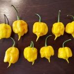 พริกแคโรไลน่าเรฟเปอร์สีเหลือง - Yellow Carolina Reaper