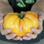 มะเขือเทศ แบนดี้ไวน์สีเหลือง - Yellow Brandywine Tomato
