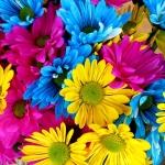 ดอกเดซี่ปลูกยากมั้ย ? มาดูวิธีปลูกและการดูแลกันครับ