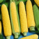 (Whole 1 LB) ข้าวโพดหวานน้ำผึ้ง - Honey Select Sweet Corn F1