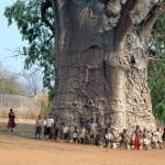 ต้นไม้ยักษ์ เบาบับดิจิทาทา - Adansonia digitata baobab