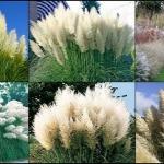 หญ้าแพมพัส สีขาว 10 เมล็ด/ชุด