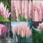 หญ้าแพมพัส สีชมพู 10 เมล็ด/ชุด