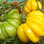 มะเขือเทศฟลอเรนไทน์บิวตี้ - Florentine Beauty Tomato