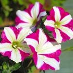 ดอกพีทูเนียเตี้ย คละสี - Dwarf Petunia Flower Mix
