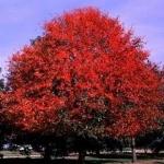 ต้นแบล็คกัม ซองละ 3 เมล็ด