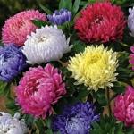 ดอกไชนีส แอสเตอร์ 20 เมล็ด/ชุด