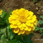 (Whole 1 Oz) ดอกบานชื่นสีเหลือง - Yellow Zinnia Flower