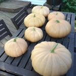 ฟักทองชีสลองไอส์แลนด์ - Long Island Cheese Pumpkin