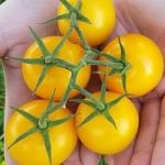 มะเขือเทศสีเหลือง - Golden Jubilee Tomato