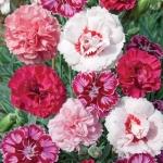 ดอกผีเสื้อดอกซ้อน ซองละ 30 เมล็ด