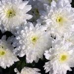 ดอกมัมสีขาว