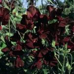 ดอกสวีทพี มิดไนท์ 3 เมล็ด/ชุด