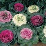 ปูเล่ประดับ คละสี - Osaka Series Mix Ornamental Cabbage