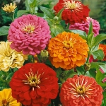 ดอกบานชื่นอเมริกา คละสี - CA Zinnia Flower