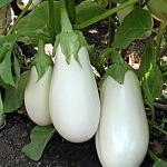 มะเขือขาวแคสเปอร์ - Casper Eggplant