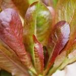 (Whole 1 Oz.) ผักสลัด คิมมารอน - Cimmaron Romaine Lettuce