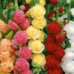 ดอกโฮลลี่ฮ็อคซ้อนคละสี - Mix Double Hollyhock Flower