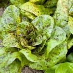 สลัดเฟรคเคิล - Freckles Lettuce