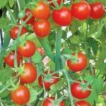 มะเขือเทศการ์เลียน - Garlian Tomato F1