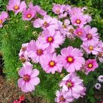 (Whole 1 Oz) ดาวกระจายสีชมพู - Pink Cosmos Flower