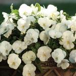 ดอกแพนซี่ สีขาว 5 เมล็ด/ชุด