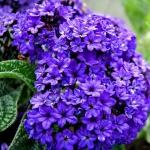ดอกเฮลิโอโทรเป้ (สกัดทำน้ำหอม) ซองละ 5 เมล็ด