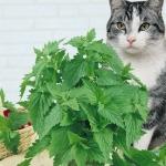 แคทนิป - Catnip Flower