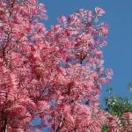 ต้นฟลามิงโก้ ซองละ 5 เมล็ด