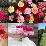 ดอกคาร์เนชั่น คละสี10 เมล็ด/ชุด