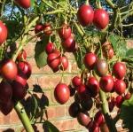 ทามาริลโล่ มะเขือเทศยืนต้น - Tamarillo Tree Tomato