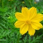 (Whole 1 Oz) ดาวกระจายสีเหลือง - Yellow Cosmos Flower