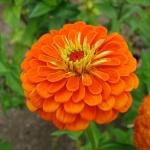 ดอกบานชื่นสีส้ม - Mixed Orange Zinnia Flower