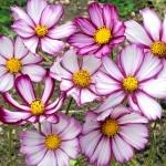 (Whole 1 Oz) ดาวกระจายพิโคที - Picotee Cosmos Flower