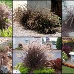 หญ้าเพอร์เพิล ฟาวเทน ซองละ 10 เมล็ด