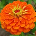 (Whole 1 Oz) ดอกบานชื่นสีส้ม - Orange Zinnia Flower