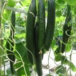 แตงกวา เทเลกราฟ - Telegraph Cucumber
