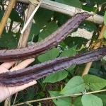 ถั่วพูสีม่วง - Purple Winged Bean