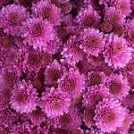ดอกมัมสีชมพู ซองละ 30 เมล็ด
