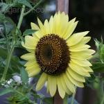 ทานตะวันเลม่อนควีน - Lemon queen sunflower