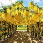 วิสทีเรียสีเหลือง