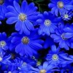 ดอกเดซี่สีฟ้า